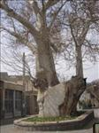 Old Platanus Tree (1200 years old) of Osku