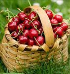 Cherry celebrating of Harif village