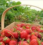strawberry Harvest Festival
