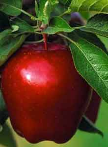 Shemiran's apple
