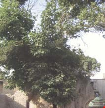 Old  Tree Of vajhabaad
