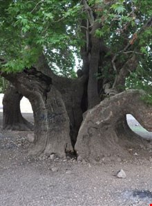 2000 Year Od Platanus of Korkhongan